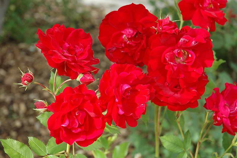 Описание роза аделаида худлесс. роза аделаида худлесс. посадка, уход, черенкование