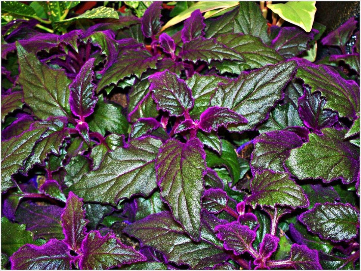 14 комнатных цветков с фиолетовыми листьями