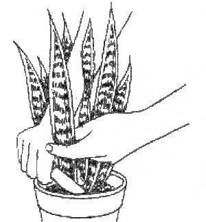Цветок щучий хвост: уход и размножение в домашних условиях