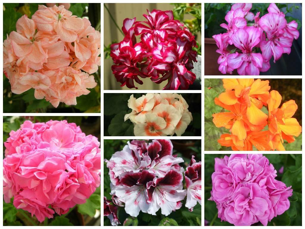 Все о герани комнатной: фото, сорта и виды цветка, особенности выращивания