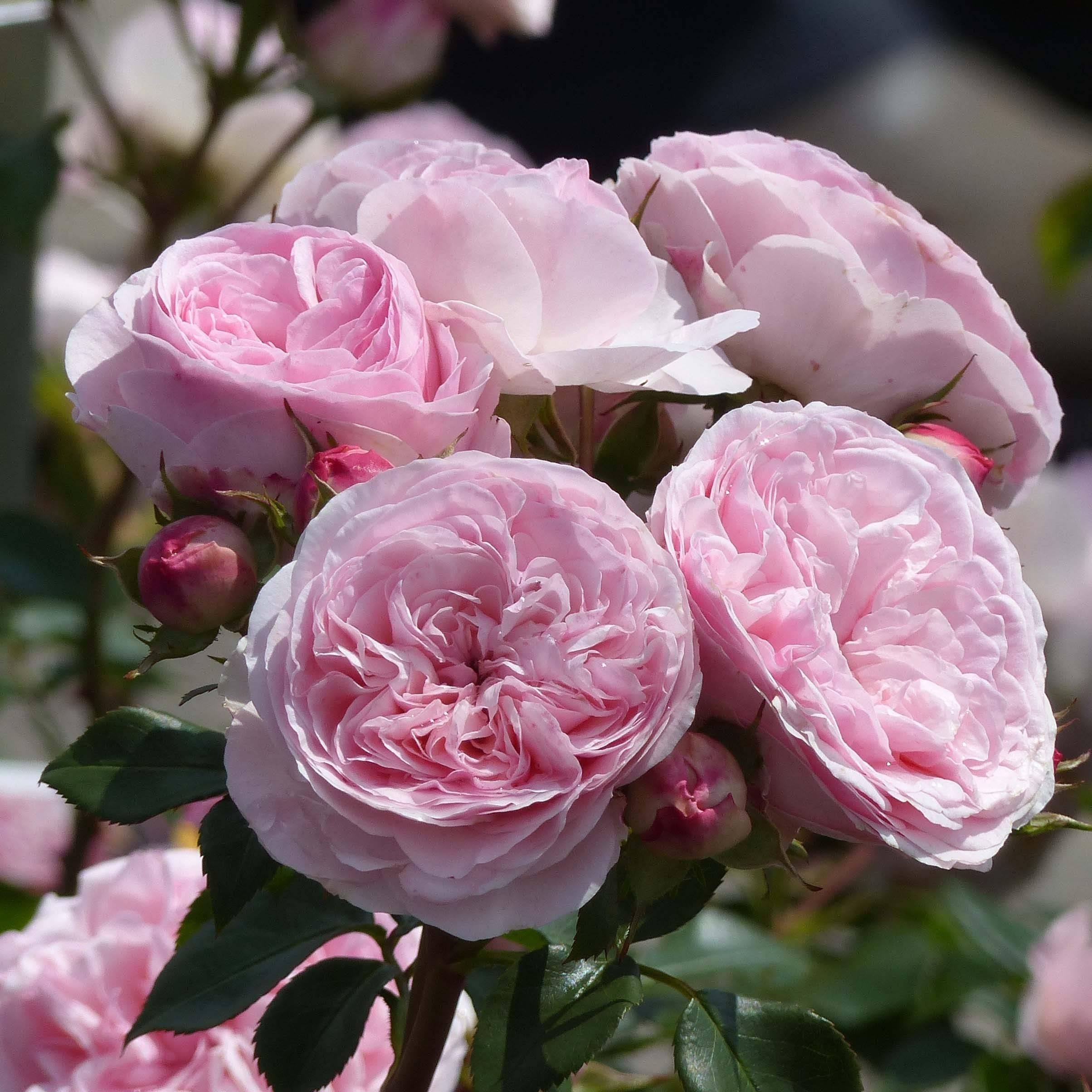 Роза фокус покус (hocus pocus) — описание сортовой культуры