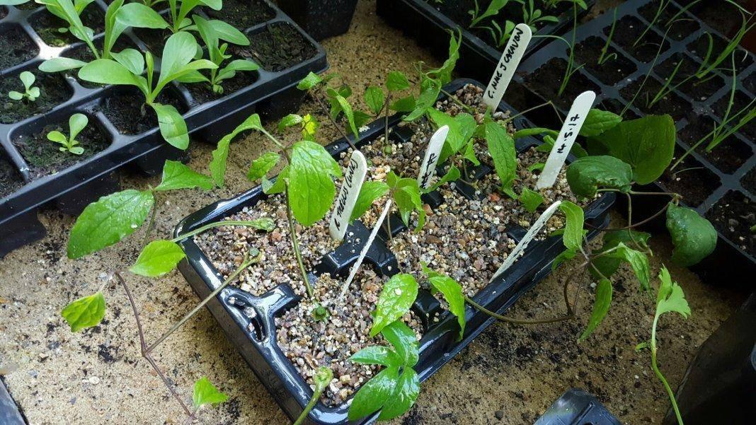 Клематис: размножение семенами, особенности посадки в грунт, правила ухода и рекомендации специалистов