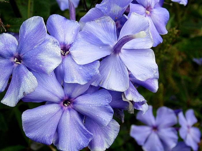 Флокс растопыренный (35 фото): описание голубых и белых цветов, посадка и уход в открытом грунте, сорта «блю мун» и «вайт парфюм», «чаттахучи» и clouds of perfume