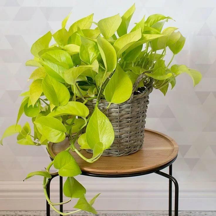Цветок сциндапсус: уход в домашних условиях и фото растения