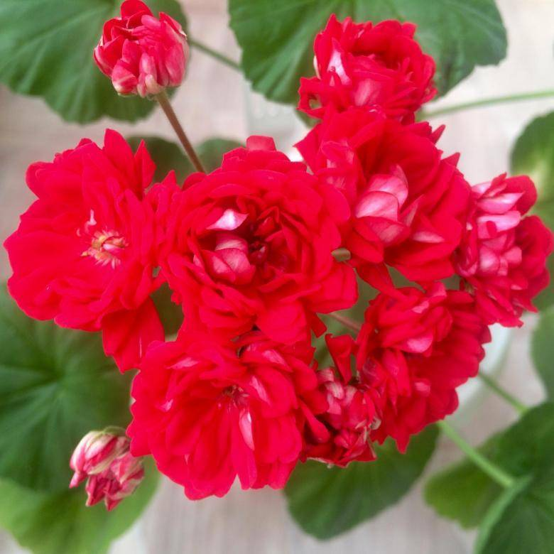 Уход в домашних условиях за пеларгонией зональной: что значит название, выращивание