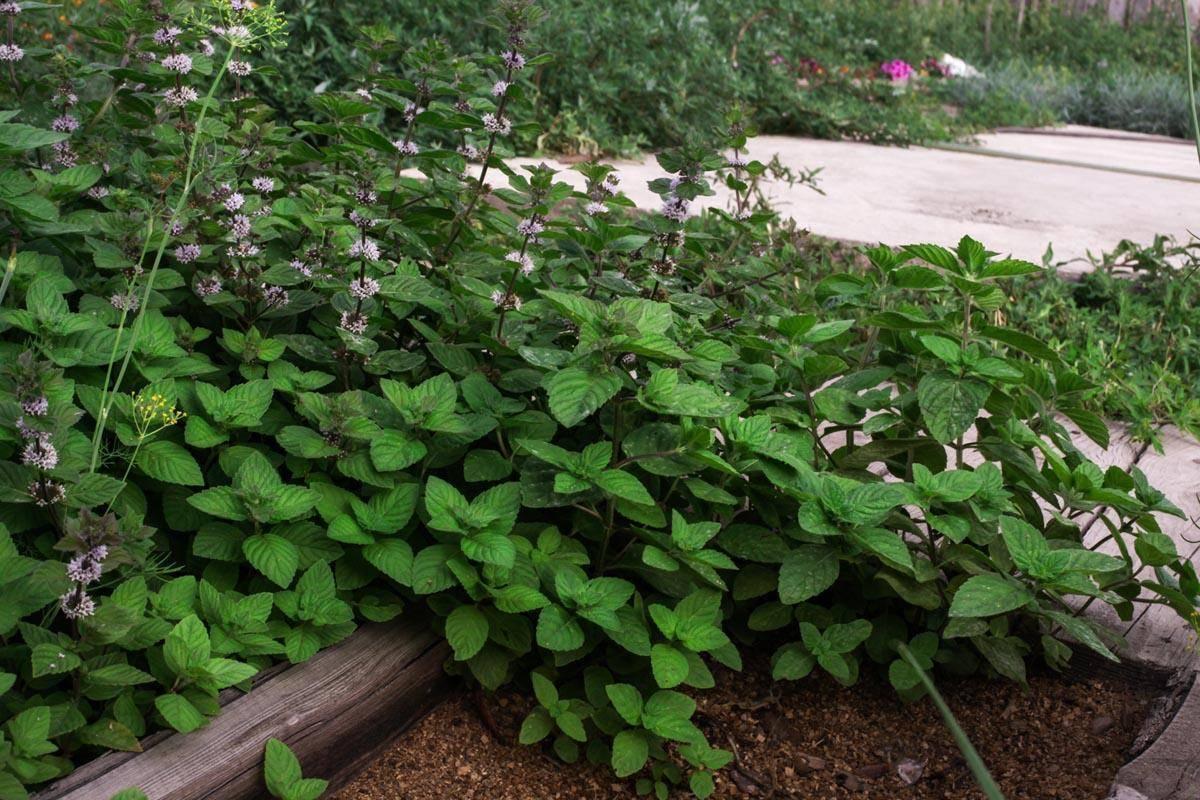 Сложно ли посадить и вырастить мяту и как это сделать дома и на даче?