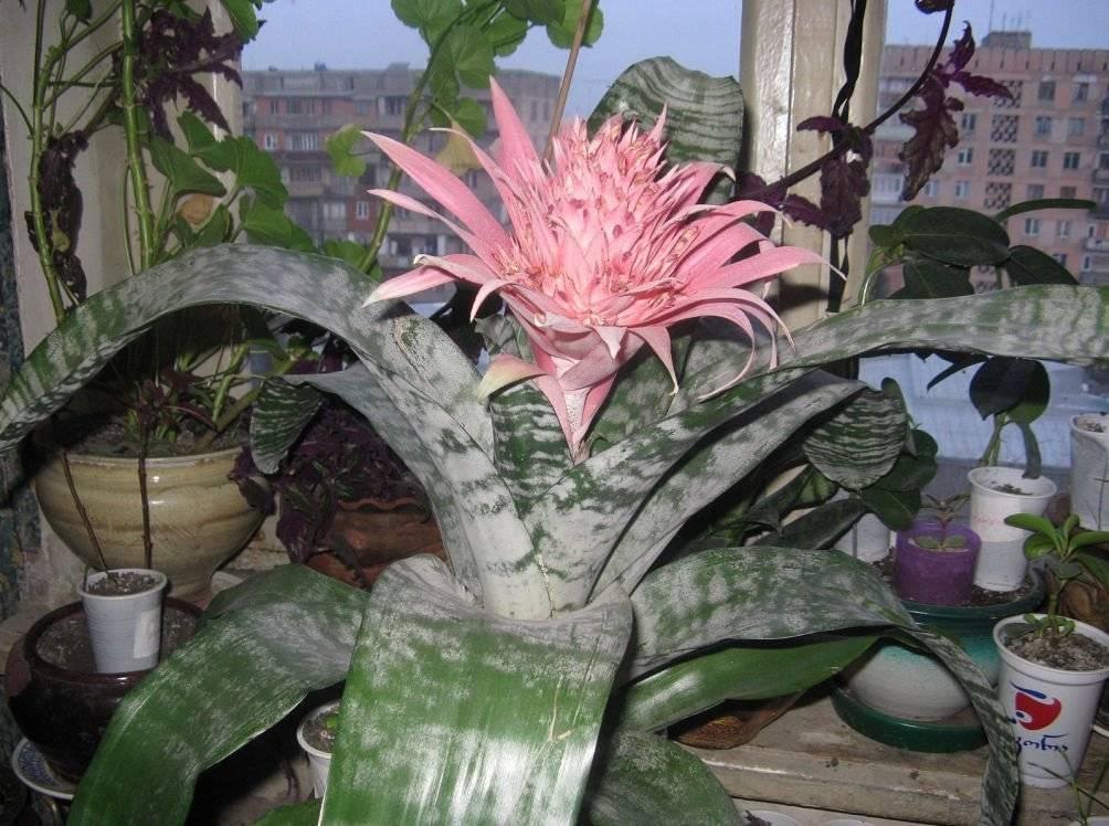 Как ухаживать заэхмеей, инужноли стимулировать цветение «экзотической принцессы»