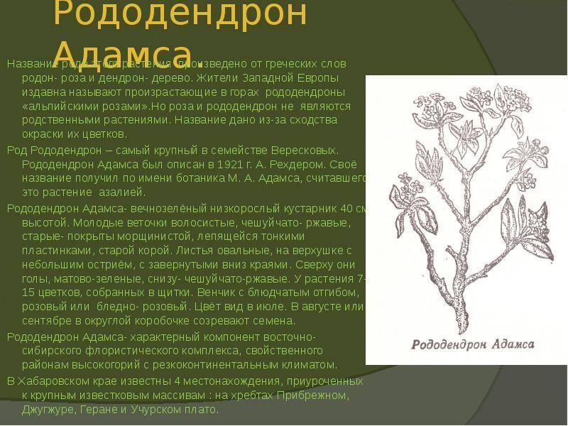 Рододендрон адамса [lifebio.wiki]