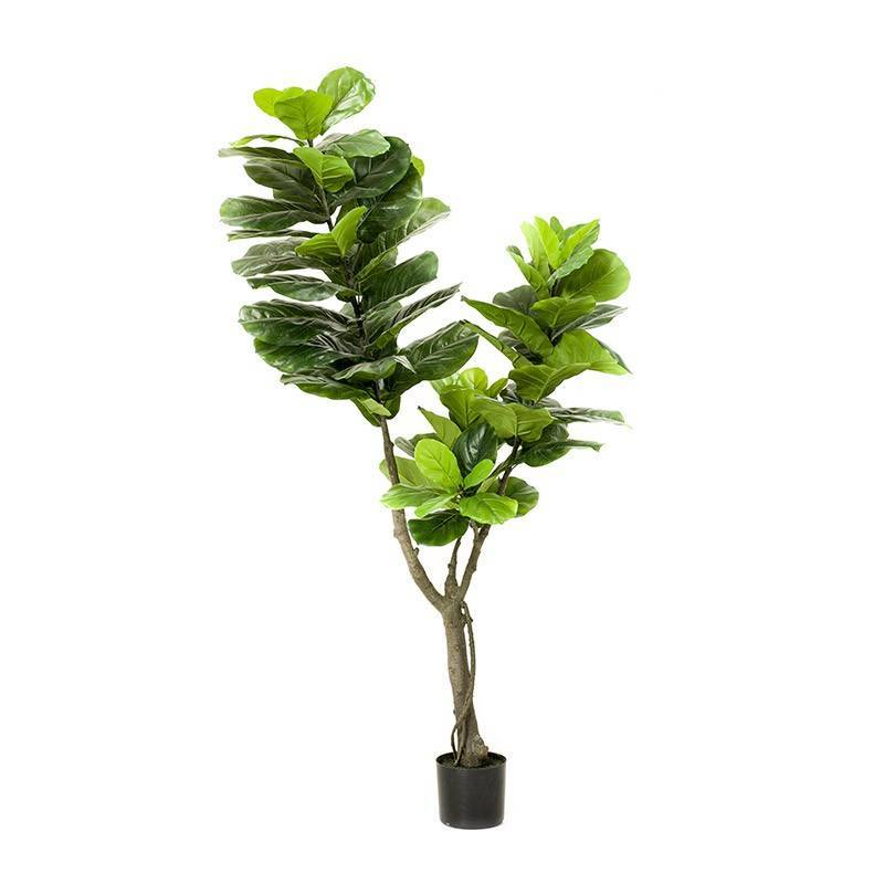 Фикус мелколистный (33 фото): уход в домашних условиях за фикусом с мелкими листьями. как размножить фикус с маленькими листочками?