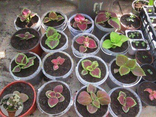 Колеус (крапивка): посадка и уход в открытом грунте, в домашних условиях, выращивание, цветы