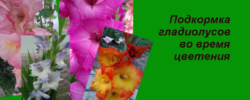 Чем и как подкормить гладиолусы? что им нужно для обильного цветения? подкормка в августе. чем удобрять в открытом грунте, чтобы быстрее зацвели?