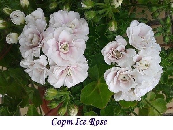 Герань гибридная: описание внешнего вида и характеристика сортов растения, таких как патриция, блу блад, розанна и другие, а также правила выращивания