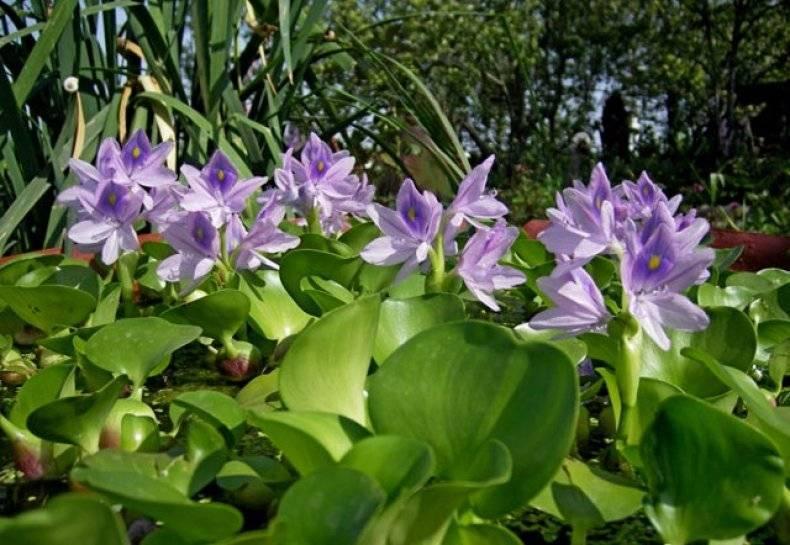 Водный гиацинт эйхорния — посадка и уход в пруду, фото и видео. водный гиацинт: описание и выращивание в домашних условиях
