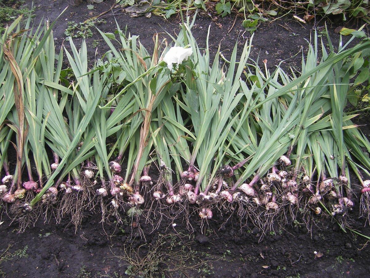 Что делать с гладиолусами осенью: выкопка гладиолусов осенью и их хранение | красивый дом и сад