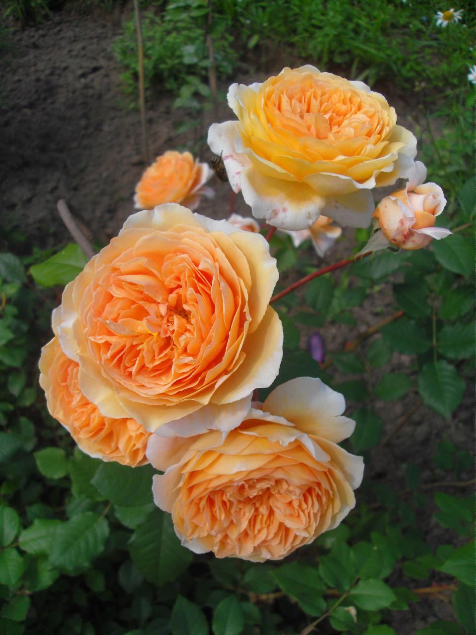 Английский сорт роз принцесса анна: особенности выращивания шраба, правила ухода