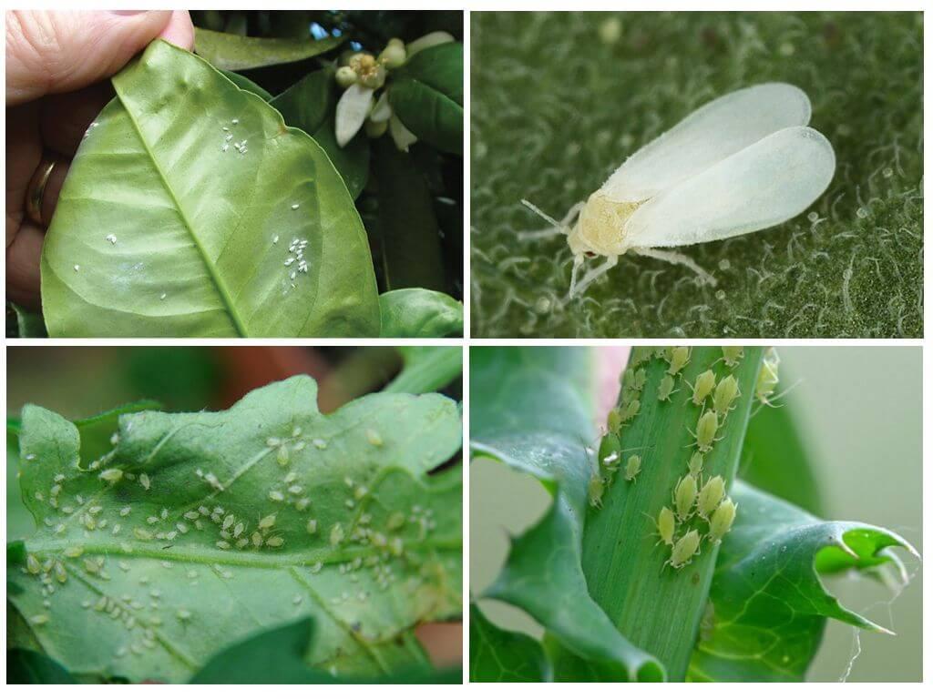 Как бороться с белокрылкой на комнатных растениях и цветах, средства для избавления от вредителя + фото