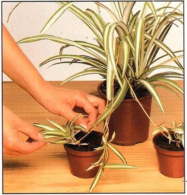 Как размножать хлорофитум в домашних условиях