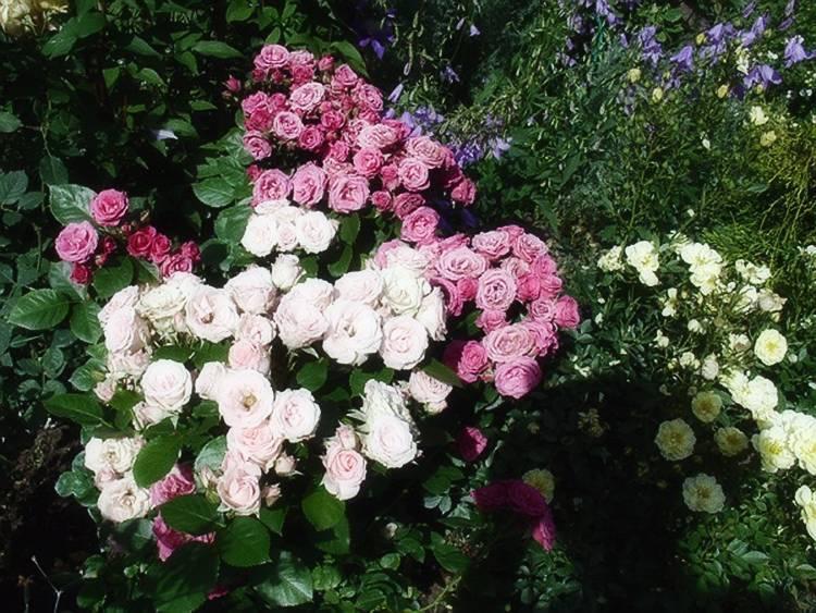 Спрей розы - особенности вида, описания сортов для выращивания в средней полосе   о розе