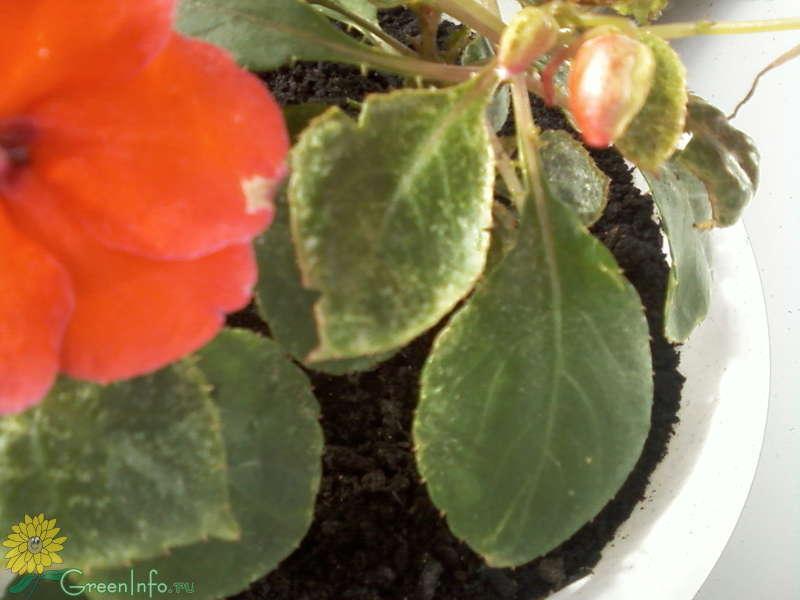 Почему опадают бутоны у бальзамина и как помочь растению