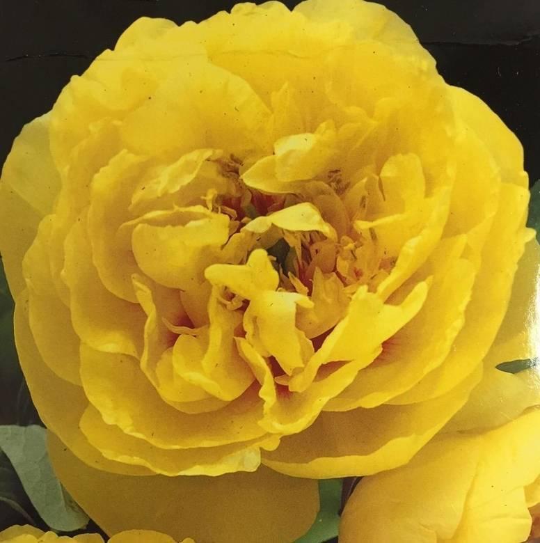 Желтые пионы (26 фото): описание пионов «йеллоу краун» и mock orange yellow, lactiflora yellow и «лаура десерт», «рой персонс бест йеллоу» и других сортов желтого цвета