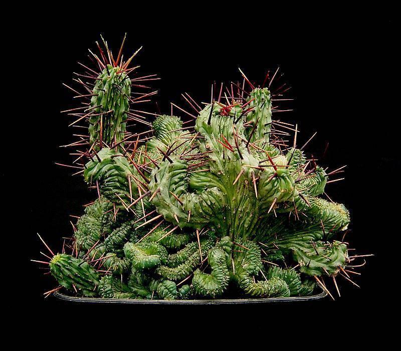 Кристата, энопла и другие разновидности цветка эуфорбия: уход дома и размножение