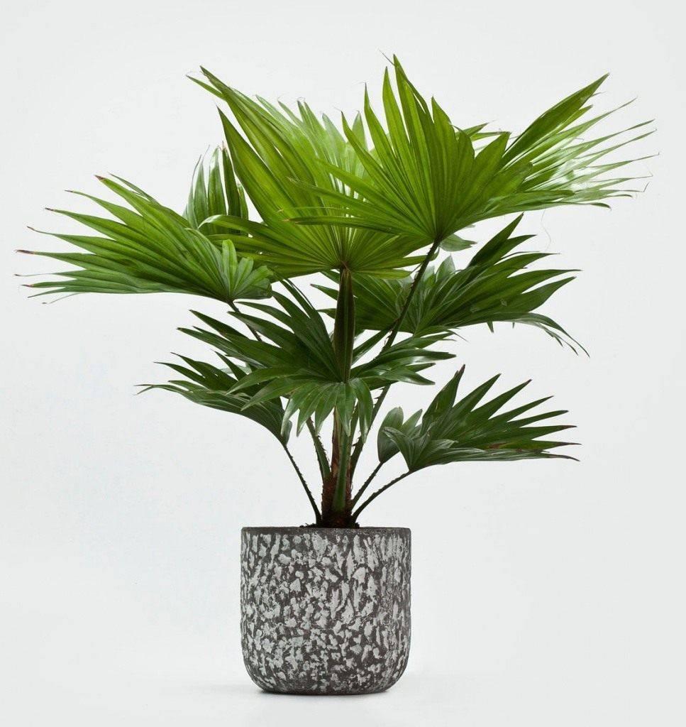 Пальма ливистона: фото листьев, уход в домашних условиях и выращивание из семян