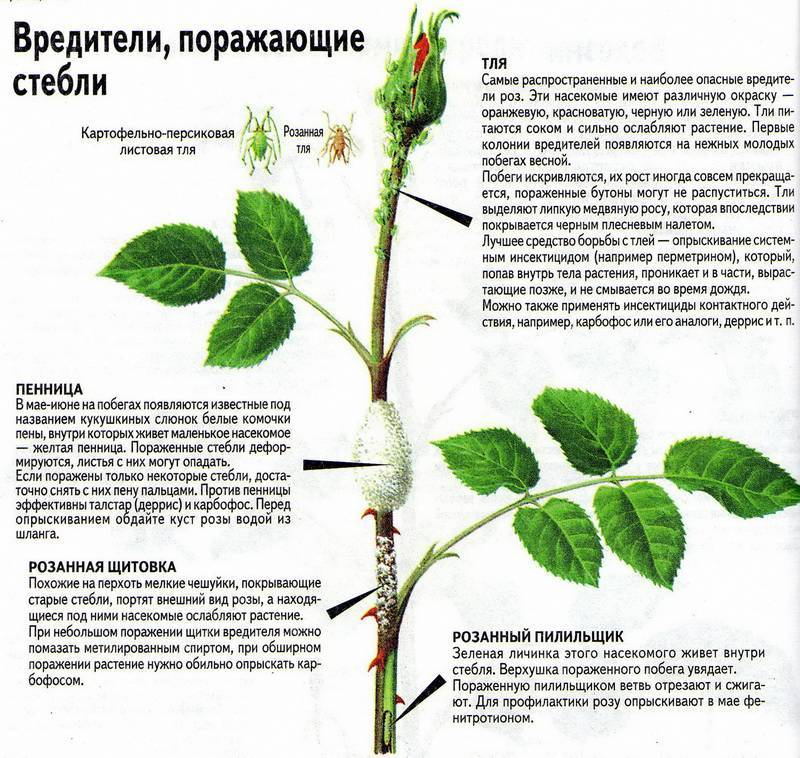 Как отличить шиповник от розы по листьям
