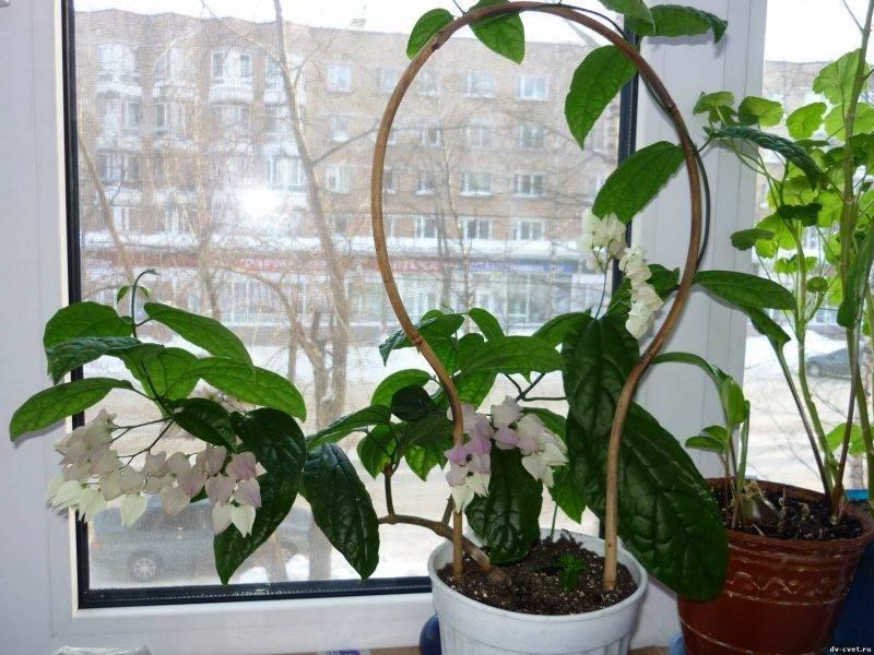 Комнатный цветок клеродендрум: фото, видео выращивания в домашних условиях, уход и размножение