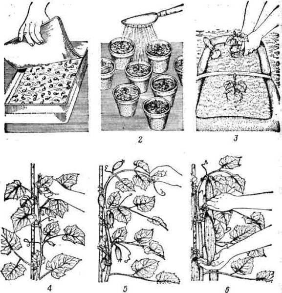 Агапантус: посадка и уход в открытом грунте