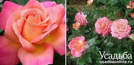 Лучшие виды и сорта роз: список по алфавиту с названиями и описанием