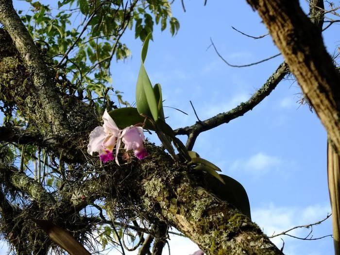 Как растут орхидеи в природе, как растет орхидея фаленопсис на дереве