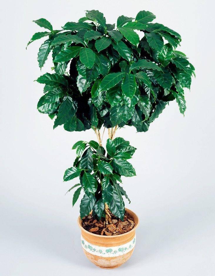 """Комнатное растение """"кофе арабика"""": особенности, выращивание и уход"""