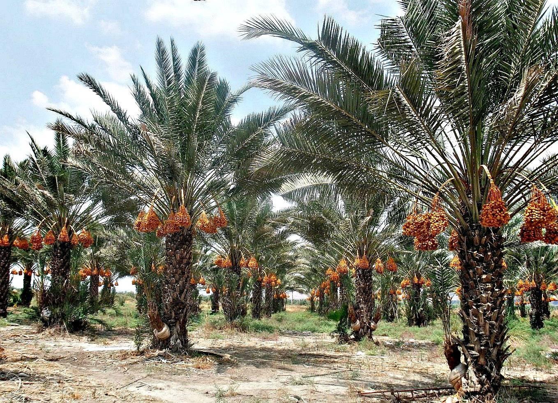 Как вырастить финиковую пальму из косточки в домашних условиях: как прорастить