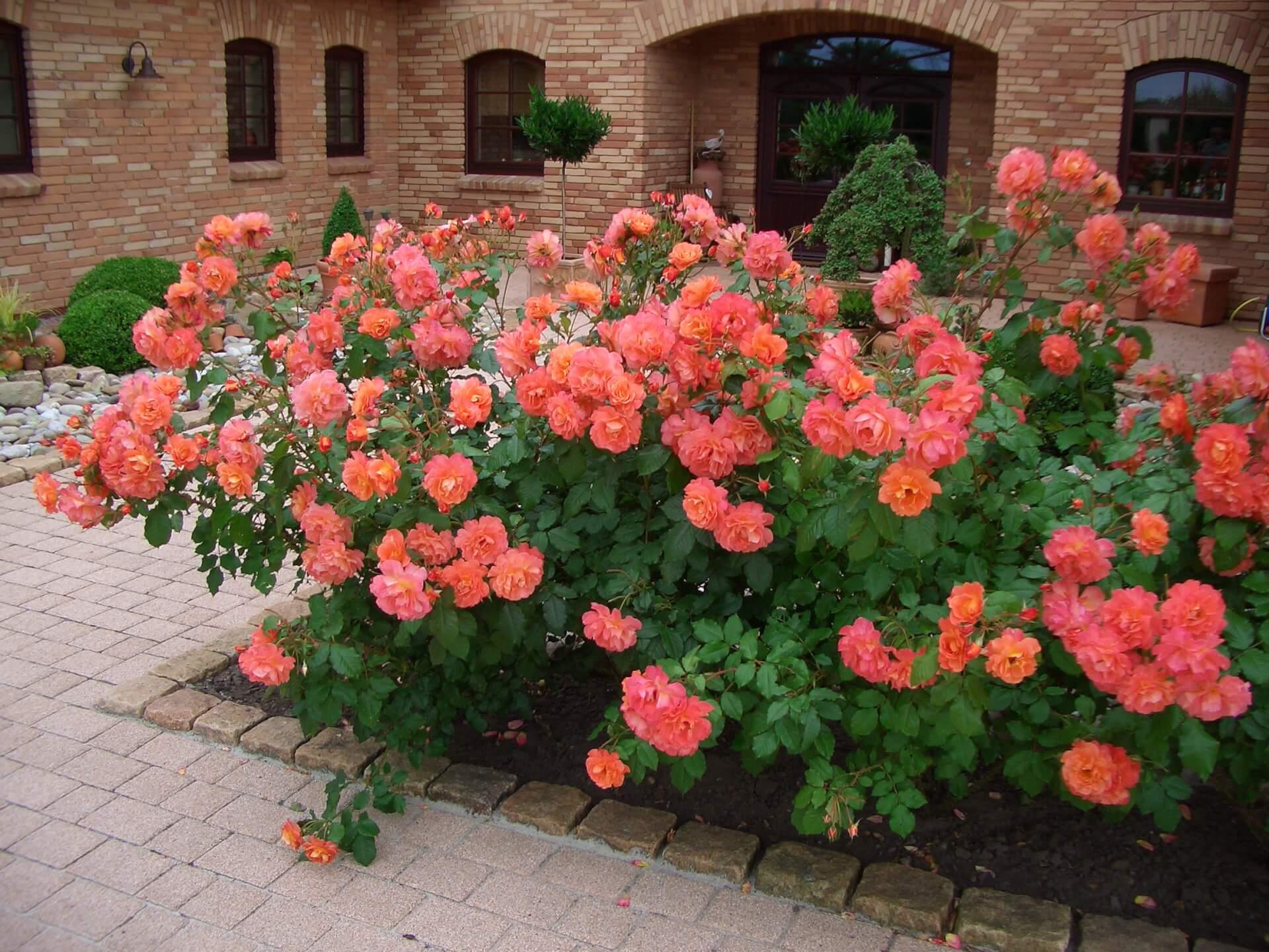 Розы шрабы сорта и особенности