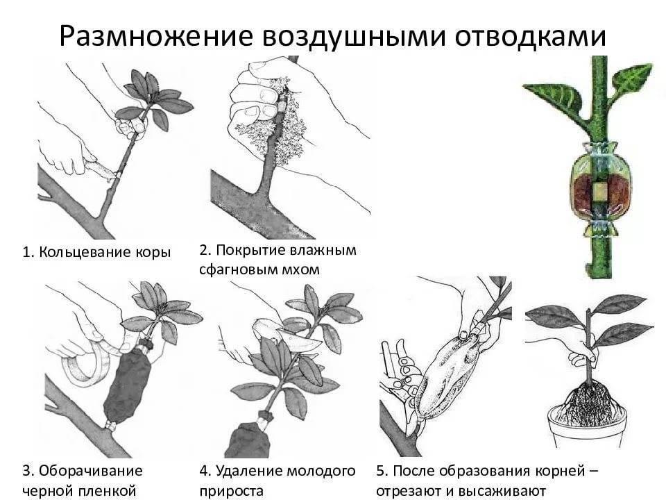 Как размножить фикус?