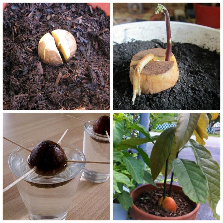 Как вырастить экзотическое авокадо у себе дома