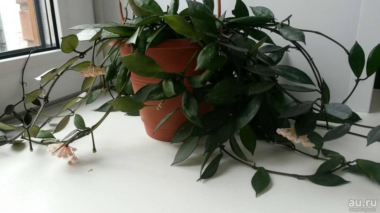 Виды и сорта хойи с красивыми листьями: куртиси, тсанги, мелифлуа, лобби...