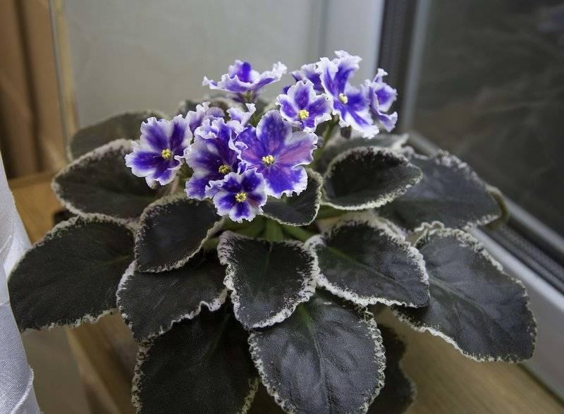 Выращивание фиалки из семян: есть ли у комнатной сенполии плоды и как они выглядят? как можно вырастить фиалку? размножение в домашних условиях