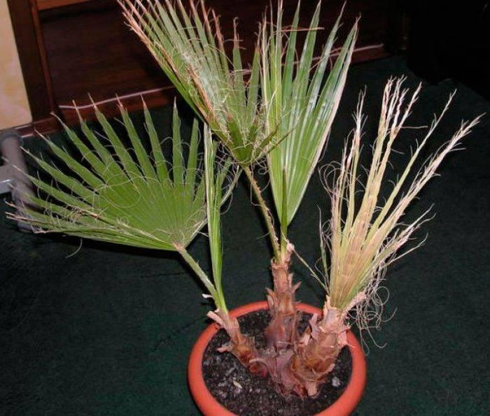 Пальма вашингтония: уход в домашних условиях, фото, описание, особенности выращивание из семян
