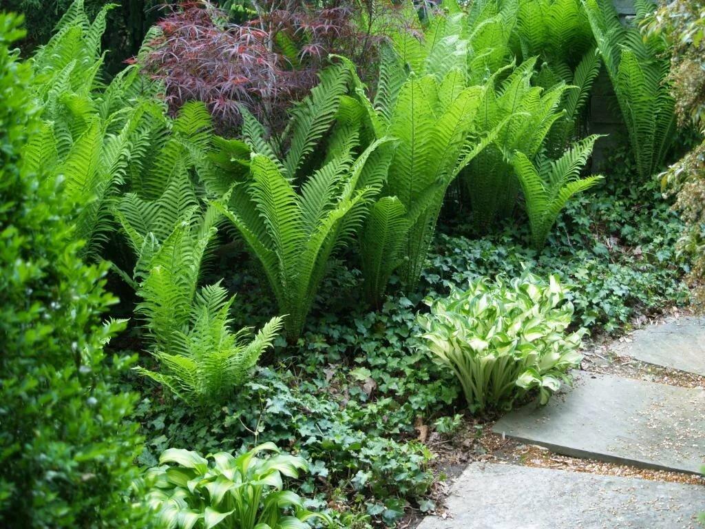 Лесной папоротник в саду: посадка и уход