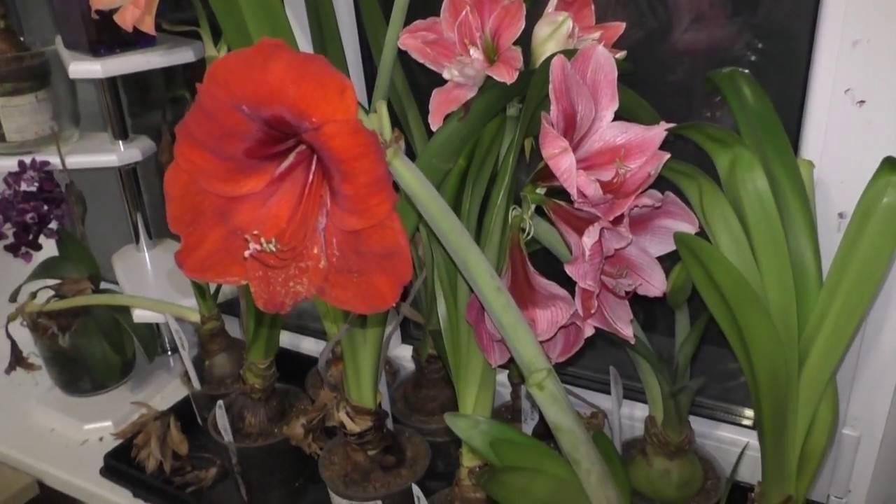 Гиппеаструм: уход в домашних условиях, фото комнатных цветов и описание