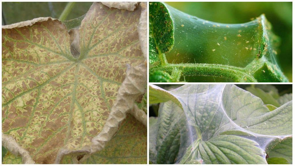 Как уберечь бархатцы от паутинного клеща и других вредителей и болезней?