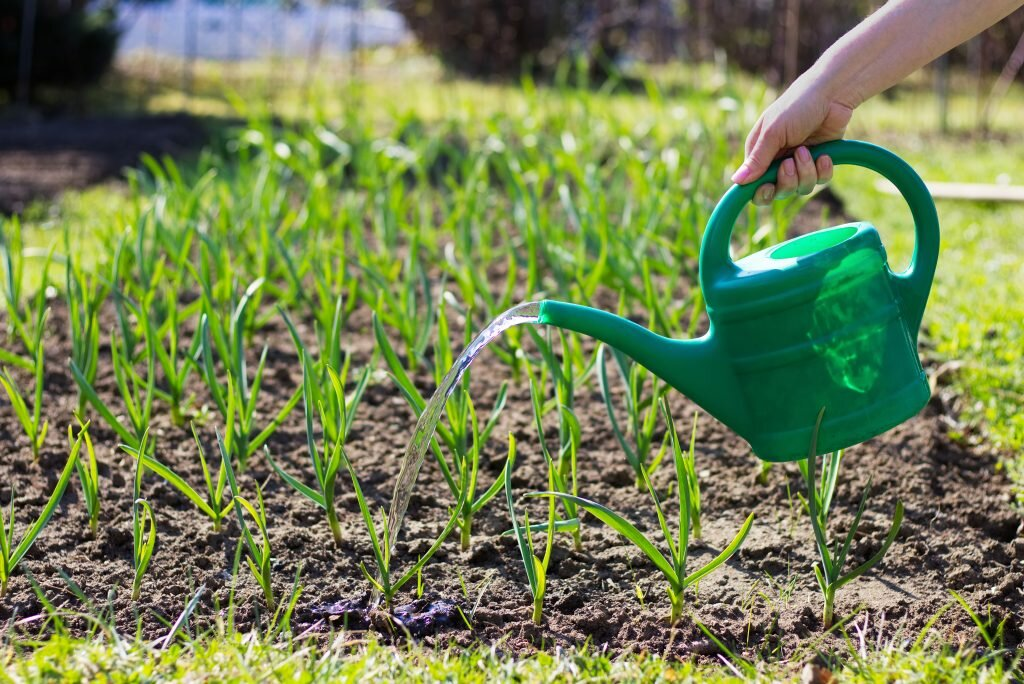 Азарина лазающая выращивание из семян когда сажать на рассаду