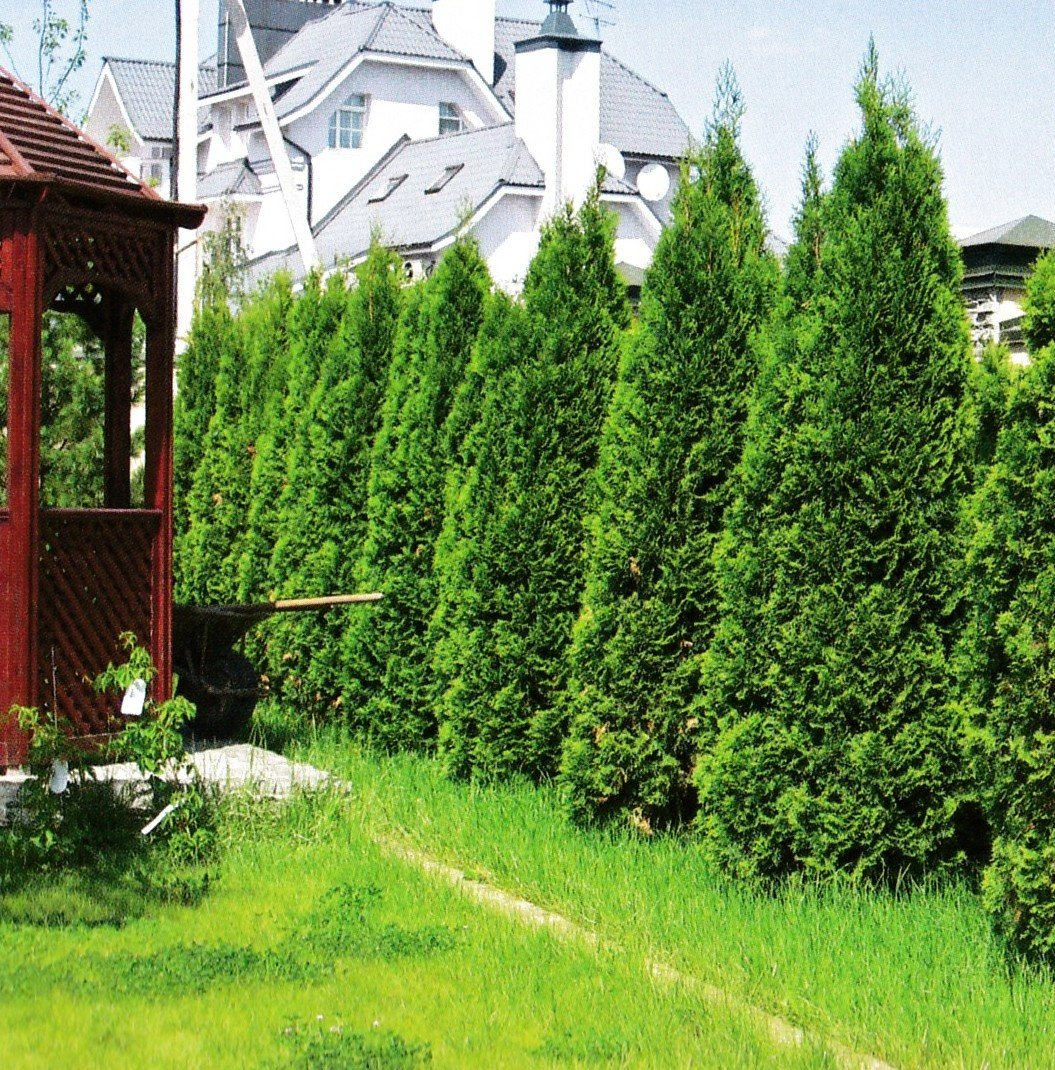 Посадка туи вдоль забора (16 фото): на каком расстоянии нужно сажать туи? идеи дизайна двора для дачи и частного дома с помощью композиций из туй вдоль забора