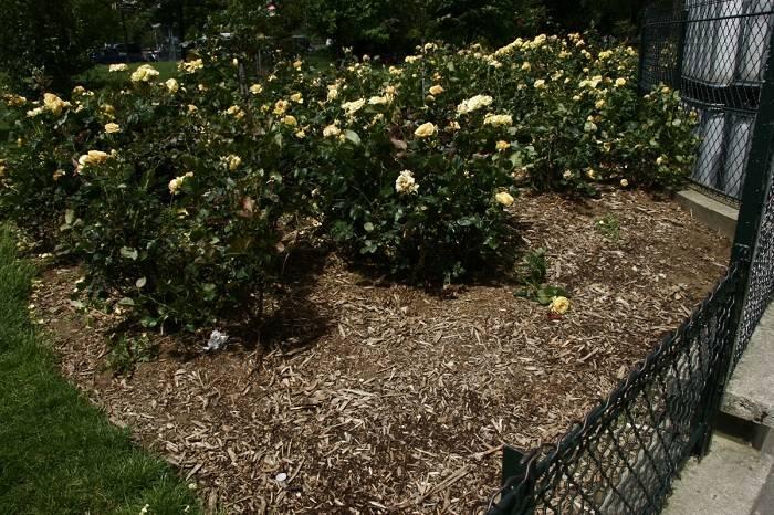 Как правильно ухаживать за розами на открытом участке в саду, чтобы цвели красиво
