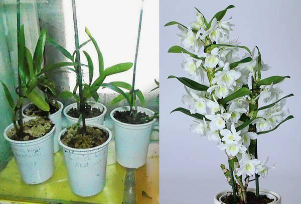 Уход за орхидеей в домашних условиях после покупки и цветения
