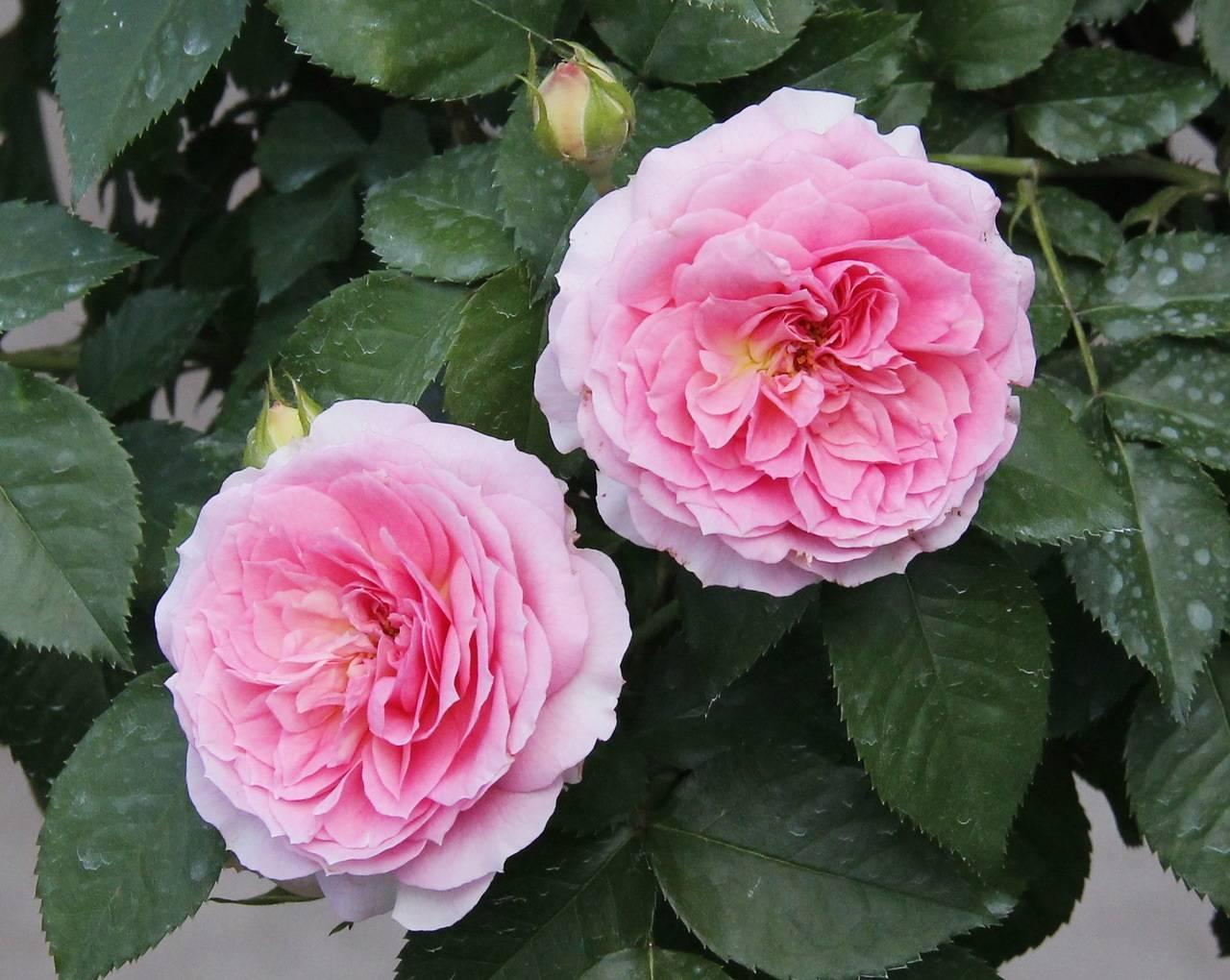 Роза анжелика: янтарная любимица цветоводов