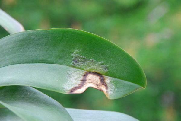 Болезни орхидей, их лечение и фото листьев, пораженных недугами, а также информация об их профилактике