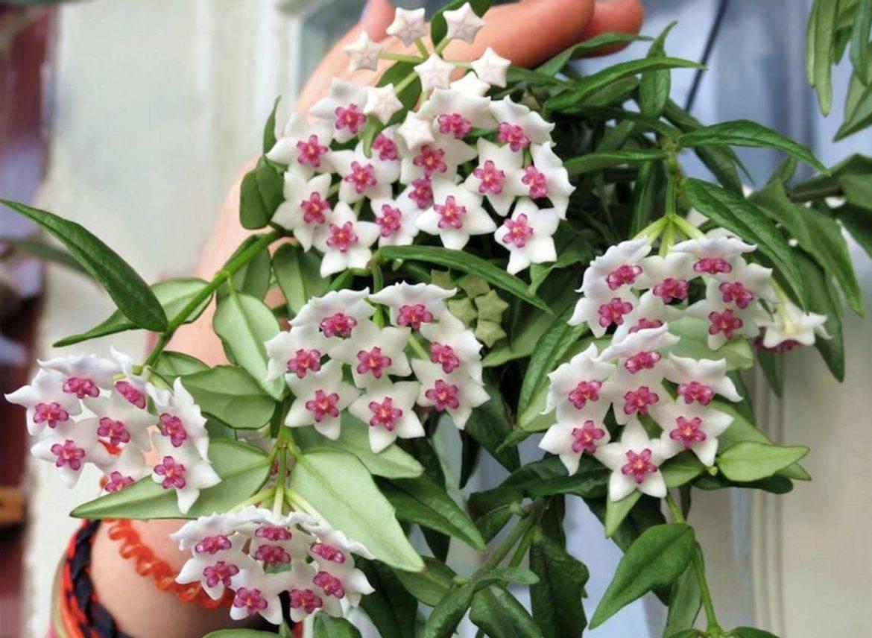 Якобиния цветок — описание растения, размножение и уход