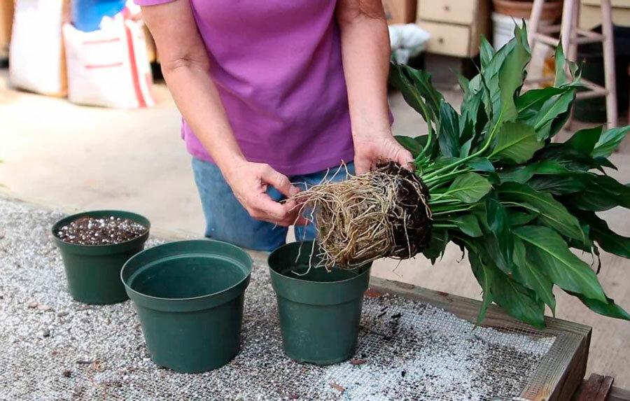 Спатифиллум: уход в домашних условиях и пересадка цветка